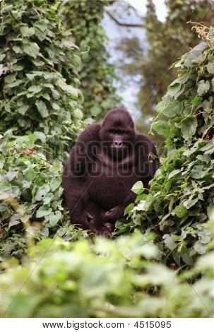 Mountain Gorilla In Bwindi Impenetrable National Park, Uganda