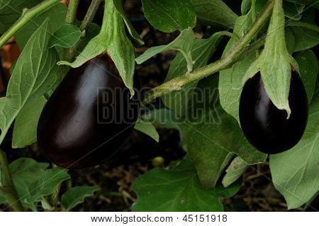Two eggplants