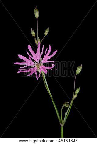 Lychnis Flos-cuculi - Closeup Macro Detail Ragged Robin Flower