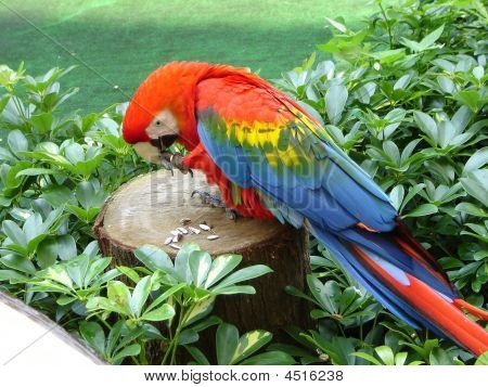 Parrot Eating Sunflower Seeds