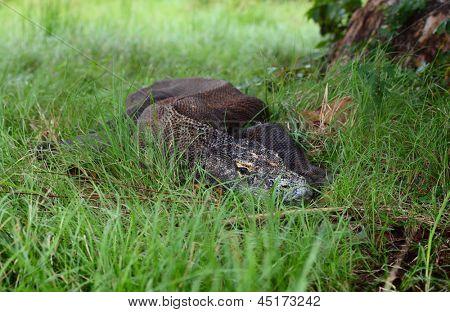 Comodo dragon relaxing in a lush grass. Indonesia, Rinca island