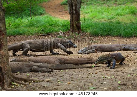 Comodo dragons walking in a park among trees. Indonesia, Rinca island