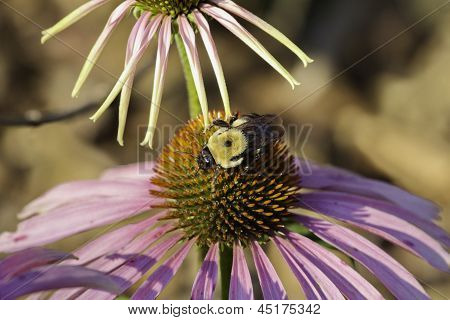 Bumble bee on a cone flower