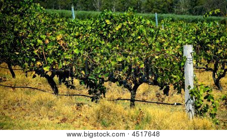 Grape Vines Ready For Harvest