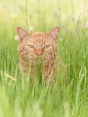 Ginger tabby cat enjoying a shady spot in lush spring grass poster