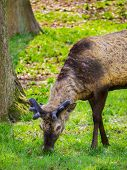 Juvenile male deer roaming and grazing freely. poster
