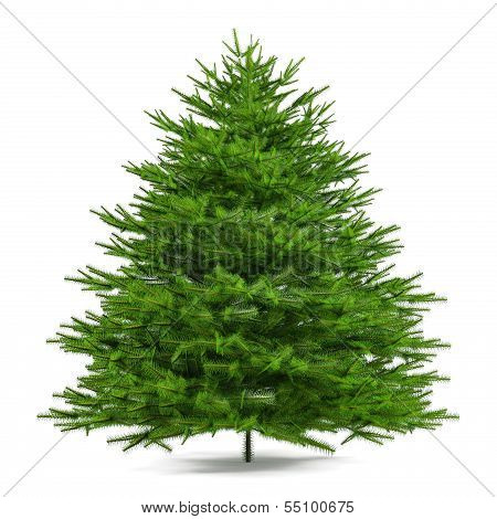 Pine tree isolated. Abies firma