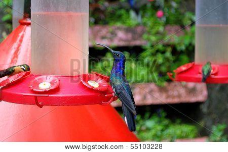 Violet Hummingbird
