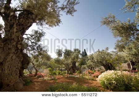 Ancient olive trees in the Garden of Gethsemane, traditional site of Jesus' place of prayer the night before his crucifixion. poster