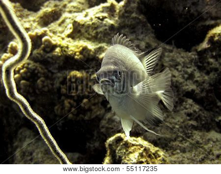 Pale damselfish