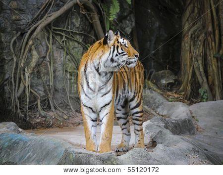 Stand Alone Of Sumatran Tiger
