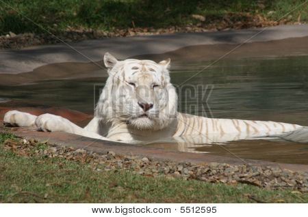 White Tiger Having a Swim