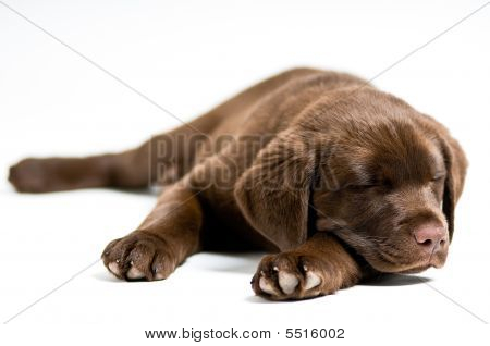 Sleeping Labrador Retriever Puppy