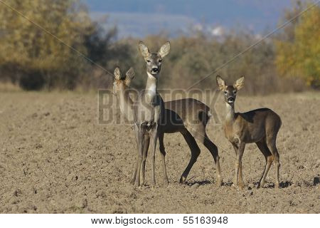 Deer in a autumn in sunny day