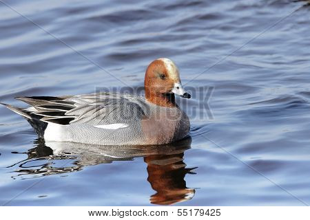 A Wigeon Drake (Anas Penelope) swimming on a lake in North Western Britain. poster