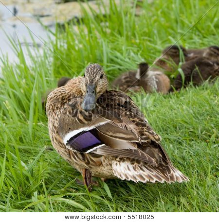 Angry Mallard Duck And Baby Ducklings