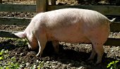 Female pig digging in mud with snout by wooden fence. poster