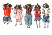 puppies on a clothesline - german shorthaired pointer puppies hanging on a clothesline - 7 weeks old poster