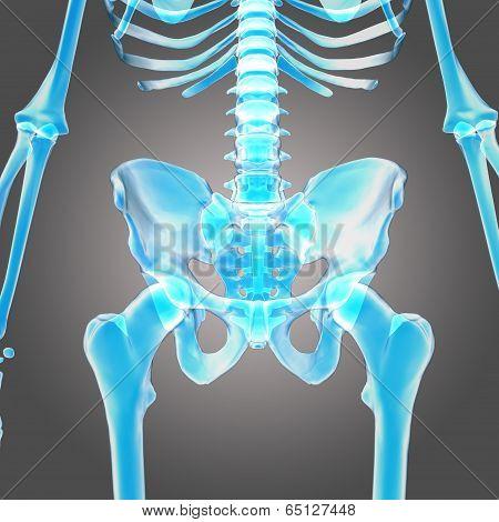 hip skeleton