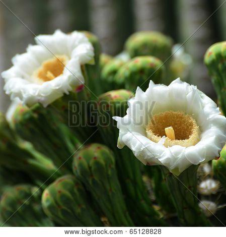 White blossoms of the Saguaro cactus