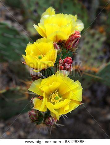Beautiful desert flowers of prickly pear cactus.