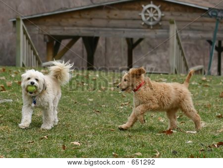 Playful Dogs