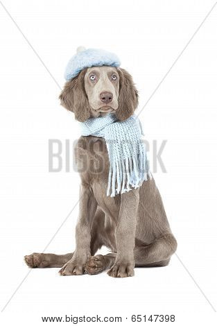 Humorous image of a Weimaraner dog wearing a hat and knitted scarf poster