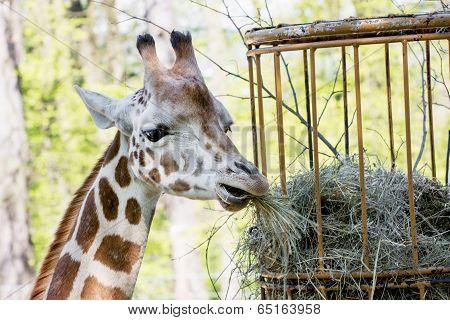 Rothschild's Giraffe (giraffa Camelopardalis Rothschildi) Eats Dried Hay