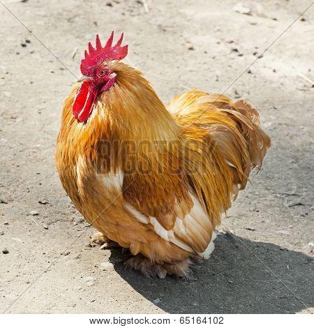 One Domestic Fowl  (gallus Gallus Domesticus)