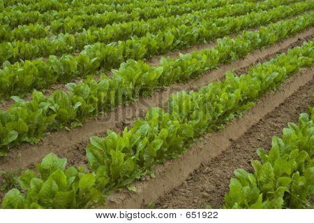 Field Of Lettuce
