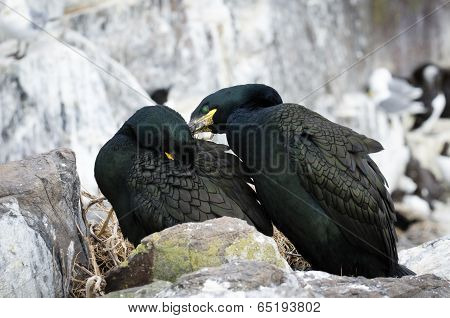 Common Shags Preening