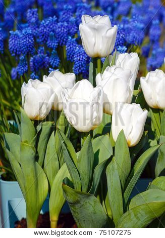 Beautiful White Tulips And Blue Flowers Behind.