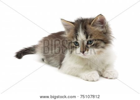 poster of fluffy kitten lies on a white background close-up. horizontal photo.