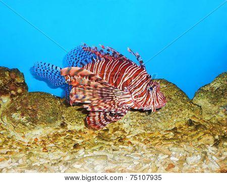 Lionfish Pterois Close Up