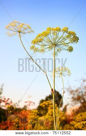 Closeup of Dill flower umbels in autumn on blue sky background.