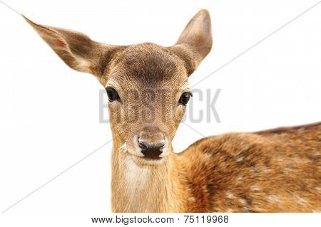 Isolated Portrait Of Fallow Deer Calf