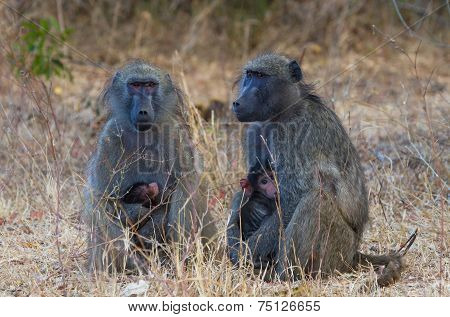 Two Baboons With Infants