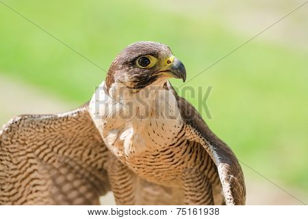 Small And Fastest Raptor Bird Peregrine Or Accipiter