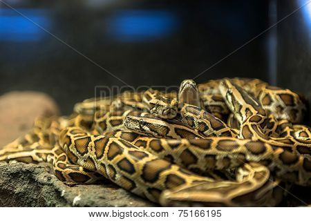 Large pack of young snakes