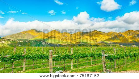 Beautiful mountains of New Zealand covered by blooming yellow gorse (Ulex europaeus) and winery in the front