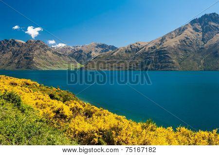 Beautiful lake Wakatipu with mighty mountains and blooming yellow gorse (Ulex europaeus). Otago region, New Zealand