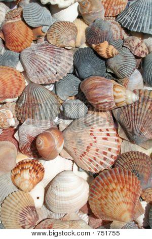 Seashells Vertical