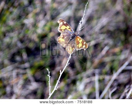 Varicoloured butterfly
