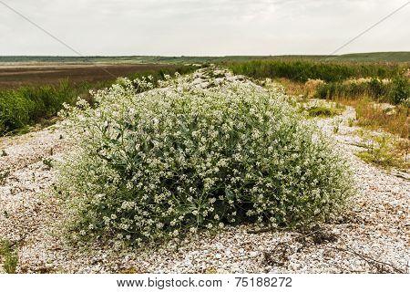 Flowering Bush Tumbleweed On The Shore Of The Dry Lake