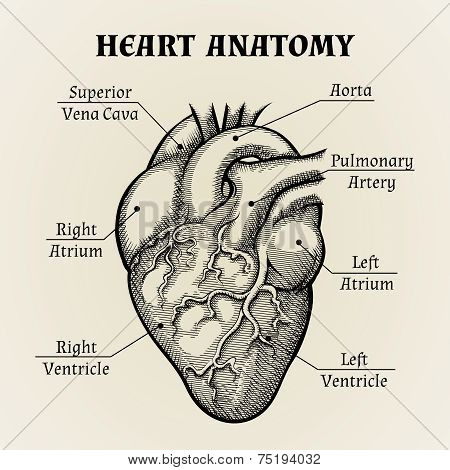 Black and White Heart Anatomy Graphic