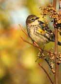 A female Yellow-Rumped Warbler prepares to dine on seedpods from a thicket shrub. poster