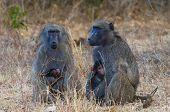 Two baboons holding infants sitting at Kruger National Park, South Africa poster