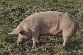 Biological sow  eat the fresh grass and dig root about in the meadow. poster