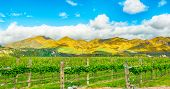 Beautiful mountains of New Zealand covered by blooming yellow gorse (Ulex europaeus) and winery in the front poster