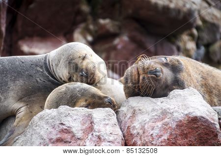 Sealions pup sleeping on a rock